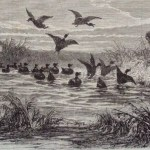 Chasse en badinage - duck tolling in action