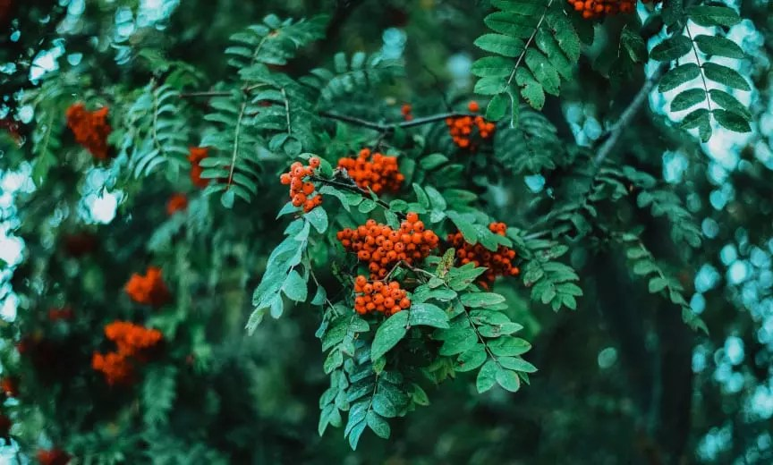 A Mountain Ash tree with fruit and green leaves.