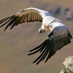 Cape Vulture Taking Off