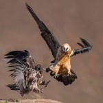 Juvenile and Adult Bearded Vulture