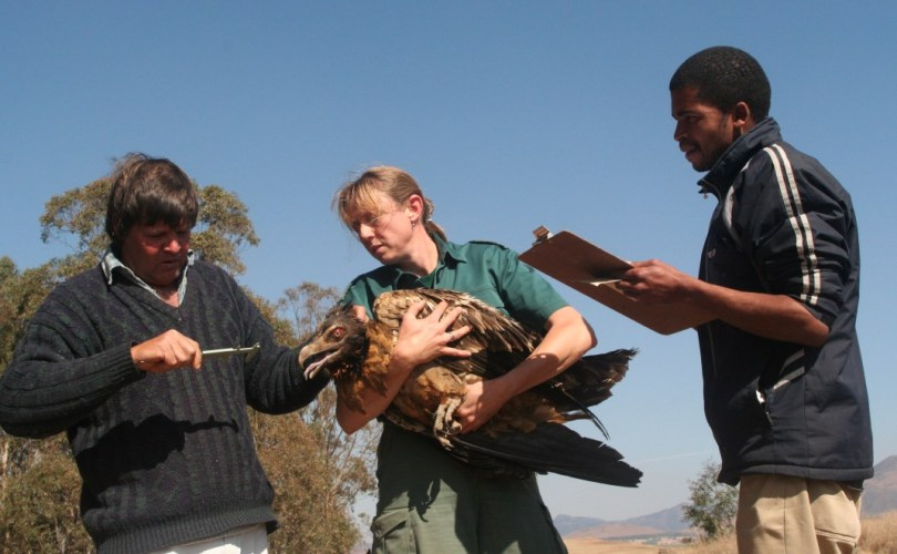 Research on Juvenile Bearded Vulture © Shannon Hoffman