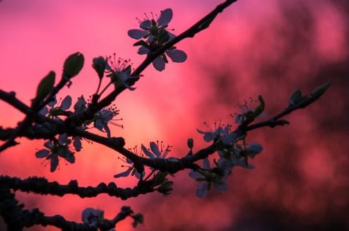 #13/52 - Fleurs de prunier
