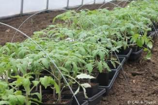 Les plants de tomates repiqués