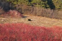 Ours au parc Forillon