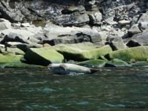 Phoque lors de notre balade en kayac