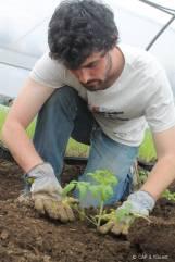 Plantation des tomates