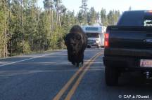 Bison sur la route Yellowstone