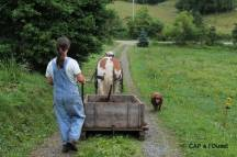 Transport du fumier dans le wagon grâce à la traction animale