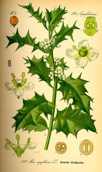 Figure 2: Planche d'illustrations de I. aquifolium, le Houx anglais.