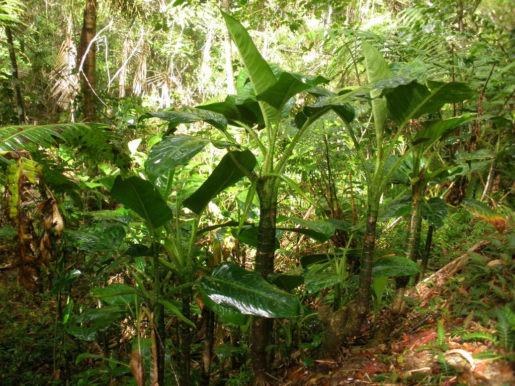 Figure 3. Dieffenbachia dans son milieu naturel (Source : Kyle Wicomb)