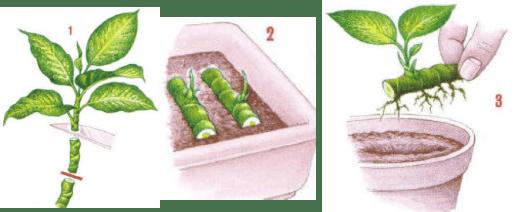 Figure 5. Multiplication de Dieffenbachia par segments de tige (Source : Au p'tit jardin de Ritou)