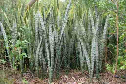 Figure 6. Sansevières dans leur milieu naturel (Source : Sheldon Navie)