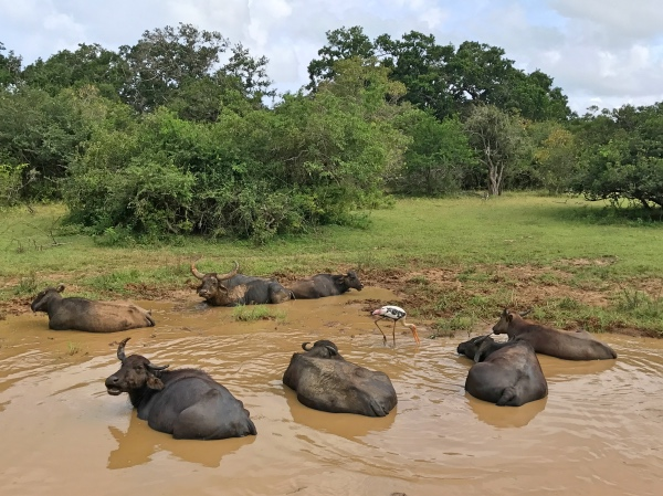 Búfalos no Yala National Park