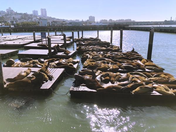 Leões marinhos no Pier 39