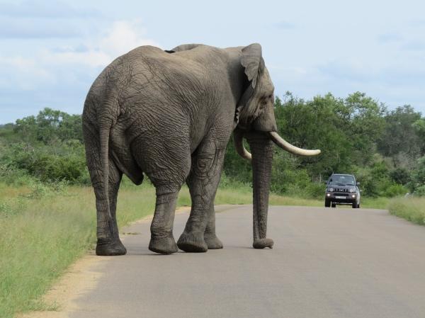 Elefante no Self drive safari