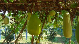 Maybe some sort of gourd? I don't know how it doesn't fall off the vine!