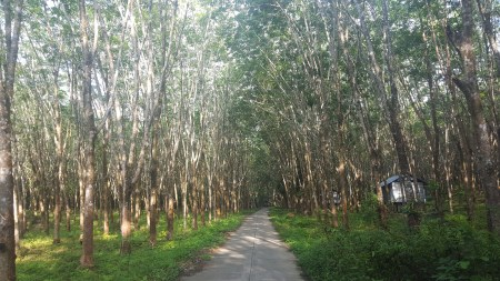 There were lots of rubber trees on the island.