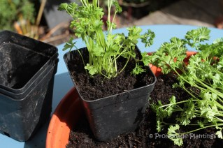 6_Parsley potted up
