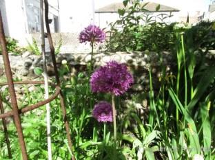Garden alliums
