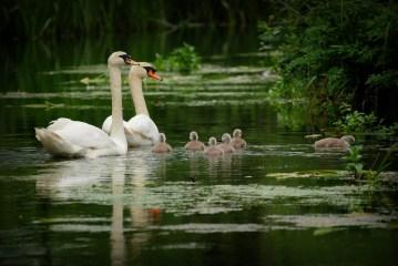 ©P.Romero: Mute Swans. Itchen River, Hampshire, UK (2016)