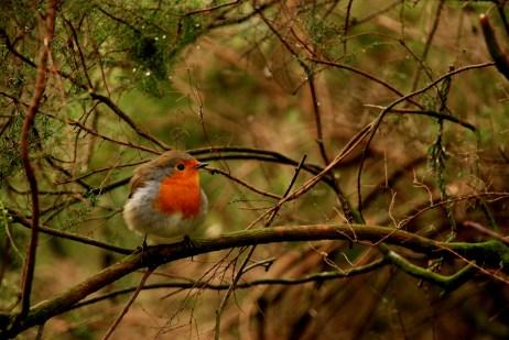 ©P.Romero: A robin. Southampton, UK (2014)