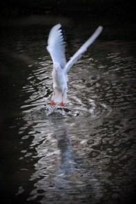 ©P.Romero: Black-headed gull, winter-plumaged. Winchester (2017)