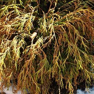 Lemon Thread Cypress