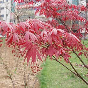 Japanese Maple 'Blood Good'