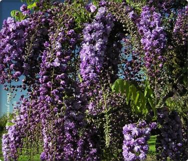 wisteria-bl-dragon2