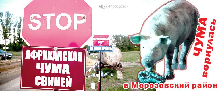 Чума свиней в Морозовском районе