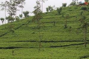 Train Ride from Kandy to Nuwara Eliya - Tea Estate view
