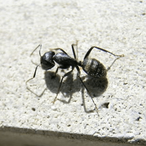 Michigan Ant Removal