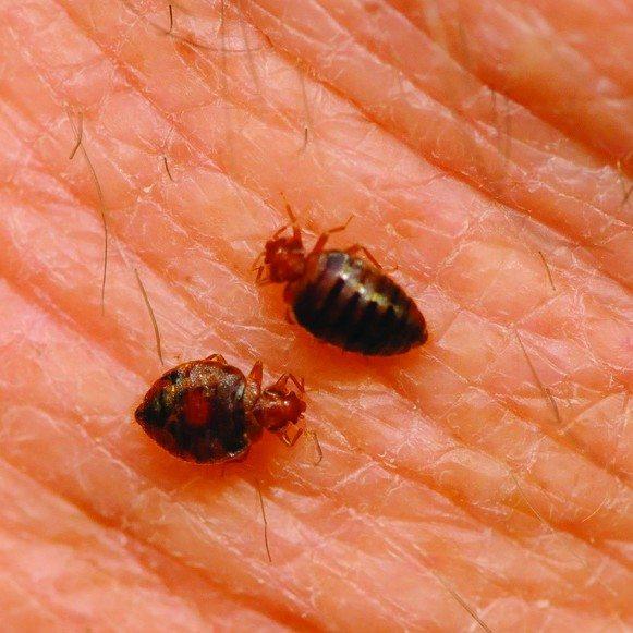 Bed bugs feeding on human skin