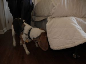 K-9 Detective performing a bed bug inspection on a bed