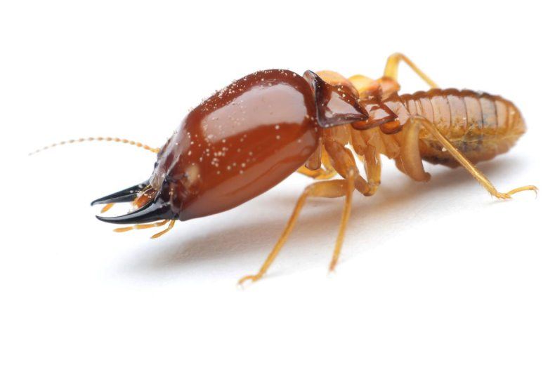 Termites have a uniform width and straight antennas. Their flying varieties have four wings that are of equal size and shape.