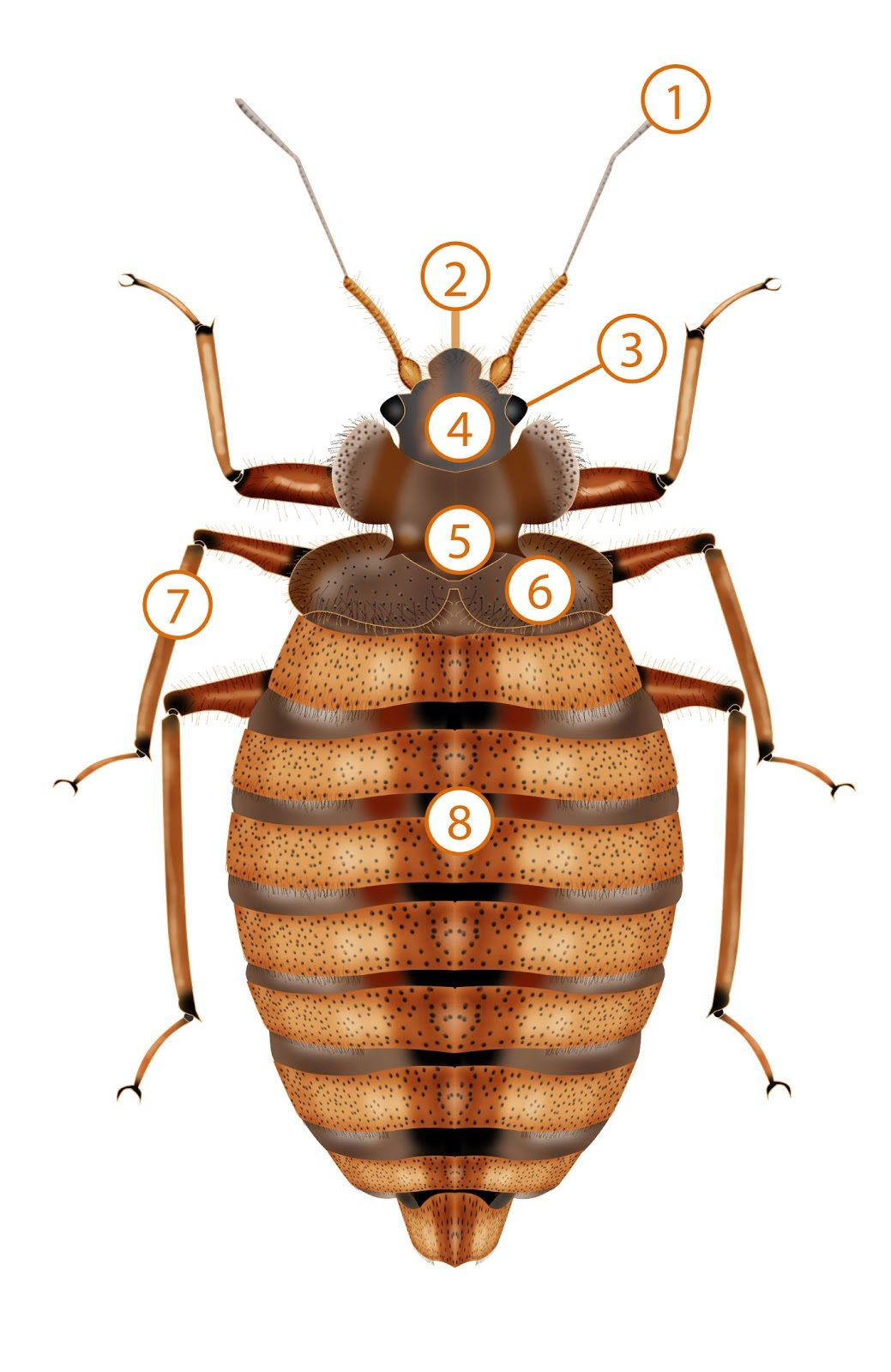 Anatomy of a Bed Bug - Pronto Pest Management