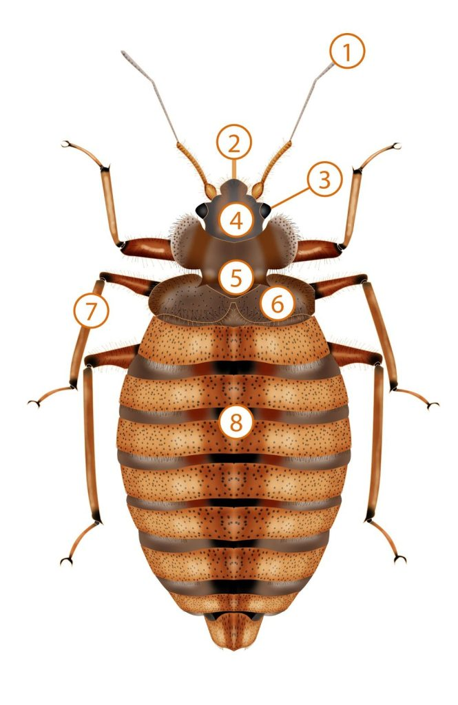 Anatomy Of A Bed Bug Pronto Pest Management