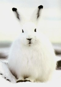 Arctic Hare (26)