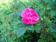 Rosa pendulina Morletii