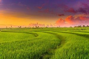 Rice Land