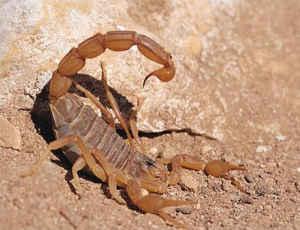 ButhusOccitanus