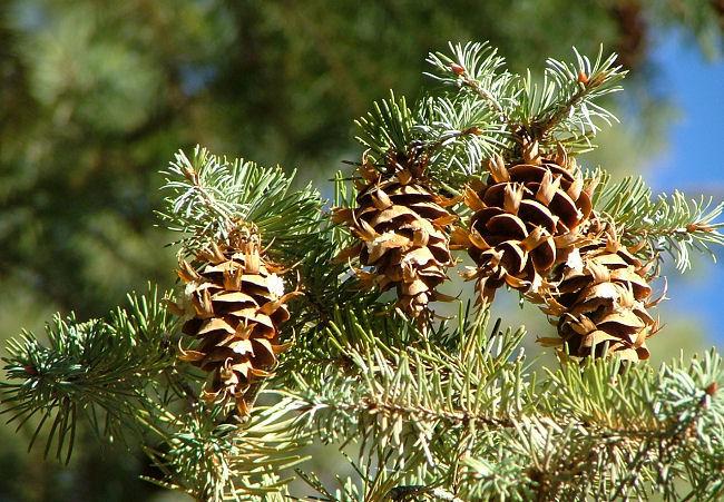 Pseudotsuga menziesii cones