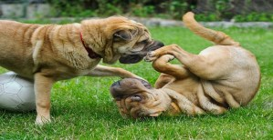 Read more about the article Pros and Cons of Having Two Dogs