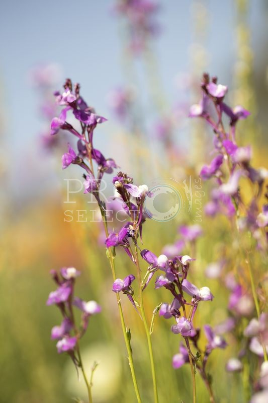 Purple indigenous flowers
