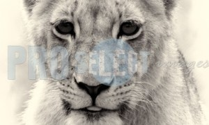 Lion cub portrait | ProSelect-images