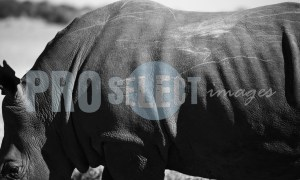African Rhinoceros scarred skin | ProSelect-images