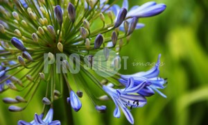 Agapanthus bloulelie | ProSelect-images