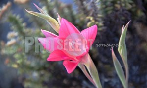 Amaryllis Belladonna March Lily | ProSelect-images