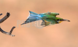 Bee eater bird | ProSelect-images