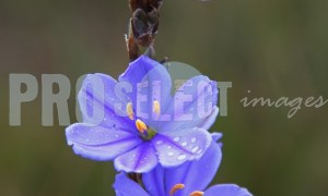 Blue flax flower | ProSelect-images